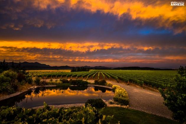 Vingård, Nya Zeeland, Fotograf Jesper Anhede