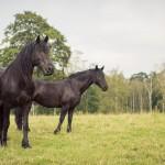 hästfotograf, Arragon (9)