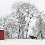 hästar, vinterlandskap, sverige, horses, winter, sweden