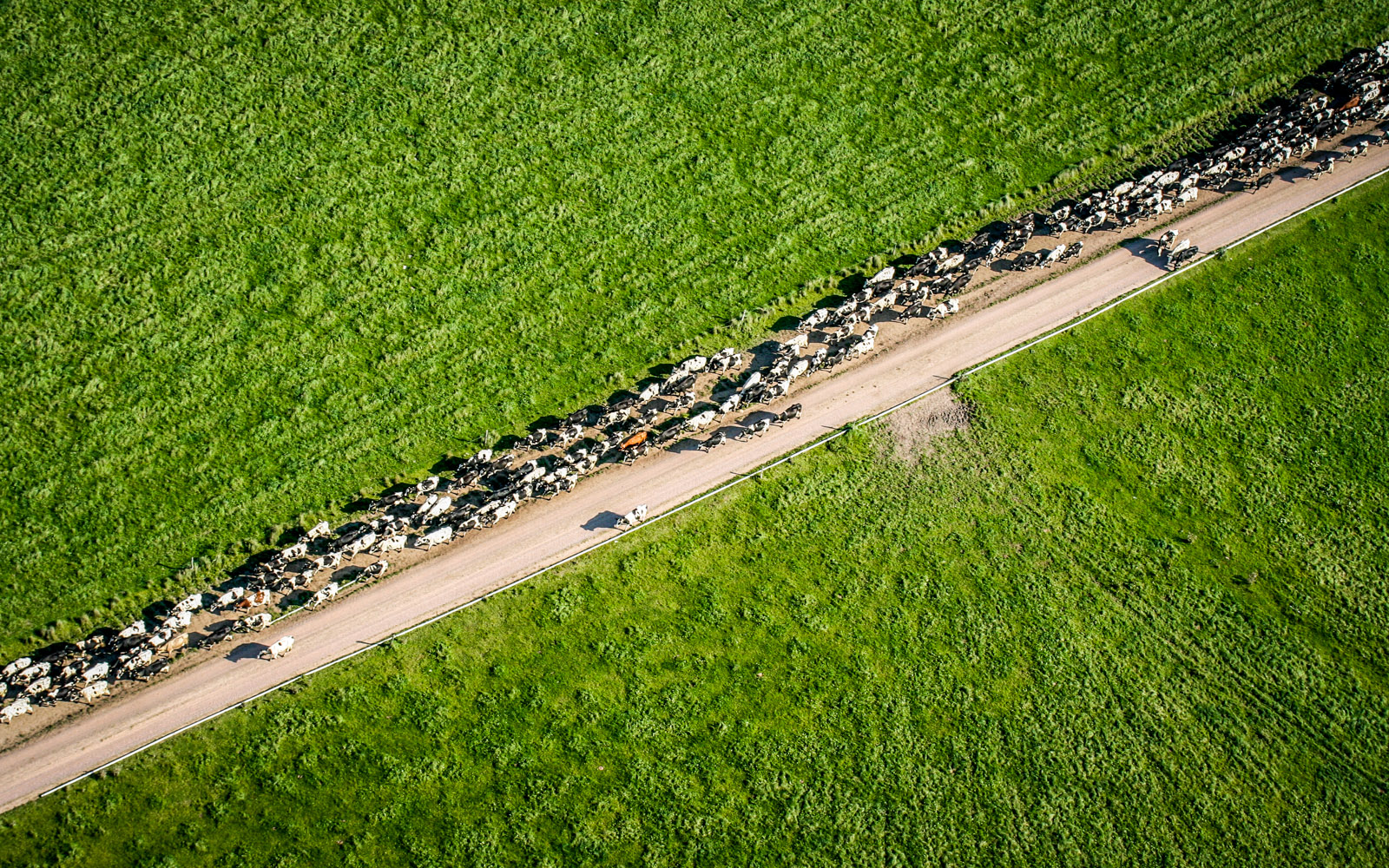 farming photography, agriculture photography, lantbruksfotografering, jordbrukfotografering, almnäs bruk, sverige, sweden, scandinavia, ekologiskt jordbruk, ekologiskt lantbruk, organic farming, organic, cow, cows, ko, kossor