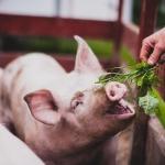 farming photography, agriculture photography, lantbruksfotografering, jordbrukfotografering, farming, jordbruk, lantbruk, hjordnära ekologiska mejeri, hjordnära, hjordnära mejeri, skånemejerier, organic, ekologisk, pig, gris