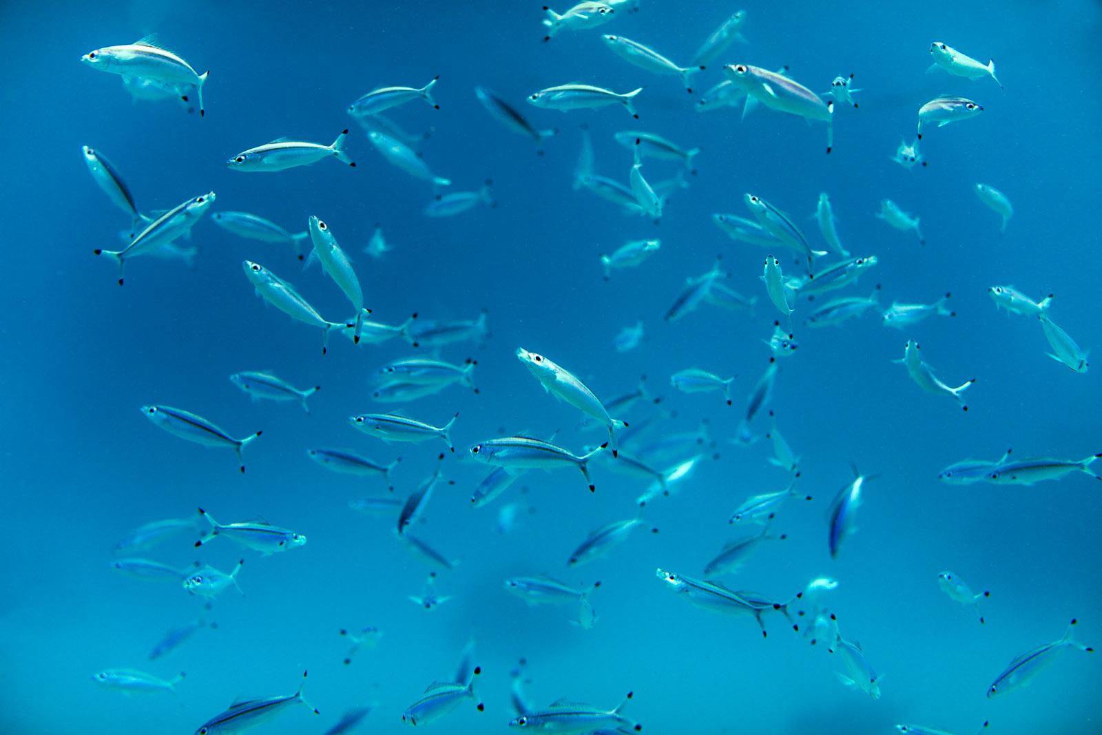 Underwater photo - Undervattensfoto - Fish photo - Fiskfoto - Pemba Island, Zanzibar, Tanzania, Africa, Afrika