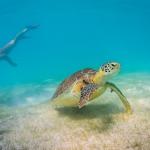 Underwater photographer - Undervattensfotograf - Sea turtle - Tortuga - Havssköldpadda - Mexico, Tulum, Akumal, Mexiko - Snorkeling - Snorkling