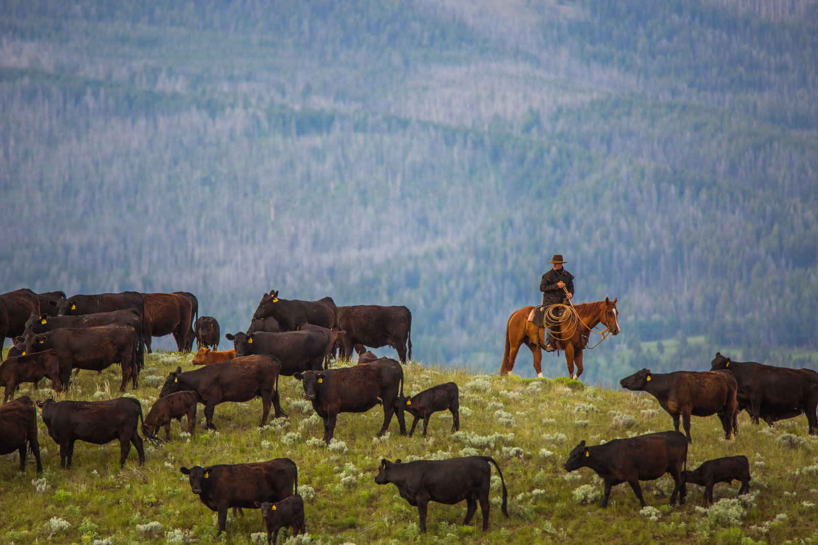 Ranch life, J Bar L Ranch. Montana, USA