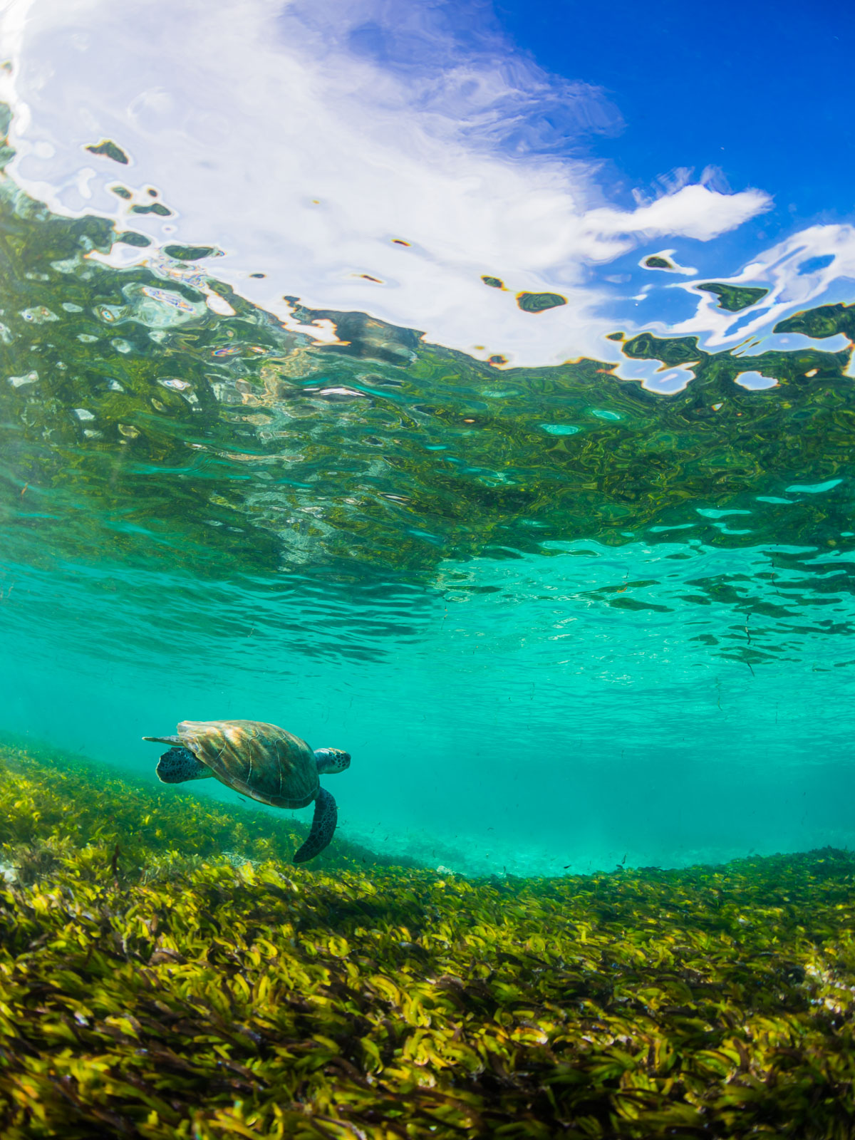 Green sea turtle - Underwater photography - Seychelles