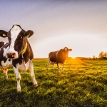 vaderstad-curious-cows-sunset