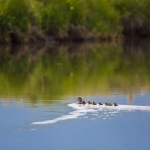 Ducks - Wildlife, J Bar L Ranch, Centennial Valley, Montana, USA