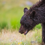 Black bear - Wildlife, J Bar L Ranch, Centennial Valley, Montana, USA