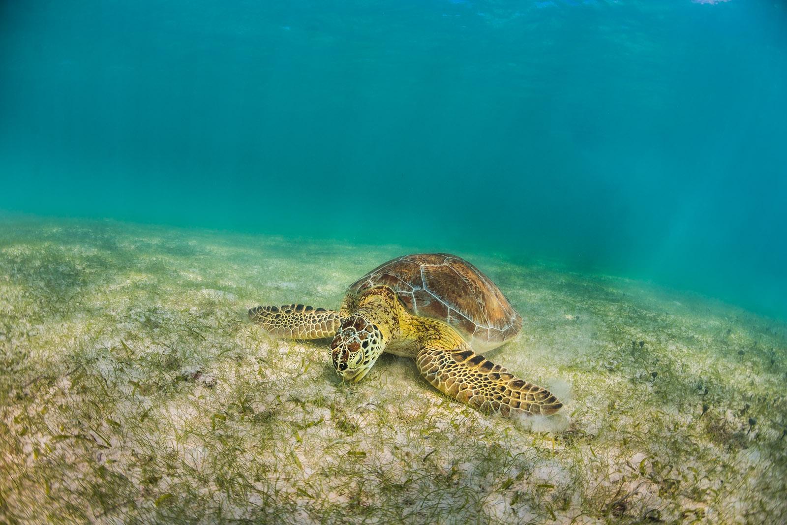 tortuga, seaturtle, havssköldpadda, underwater, underwaterphotographer, underwaterphotography, underwaterphoto, uvfoto, undervattensfoto, undervattensfotograf, caribbean, karibien, mexico, mexiko, akumel, tulum, anhede, nomnomnom, ocean, water, endangered, tortoise, chelonioidea, eating, eat