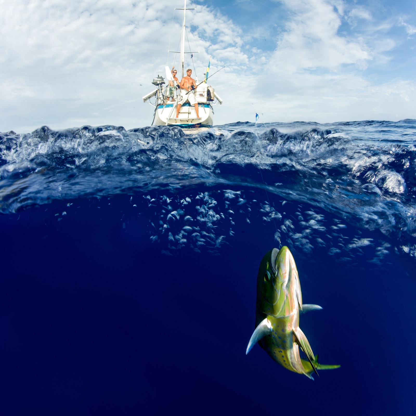 mahi mahi, fishing, trolling, pacific, ocean, sailing, wanderlust, anhede, guldmakrill, dorade coryphène, lampuga, llampuga, lampuka, lampuki, rakingo, calitos, maverikos