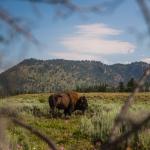 bison, buffalo, yellowstone, centennial valley, montana, wyoming, usa