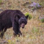 black bear, bear, grizzly, yellowstone, centennial valley, montana, wyoming, usa