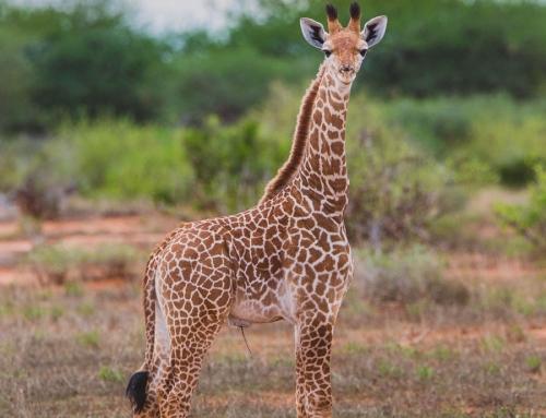 Cutenes overload – Masai giraffe calf