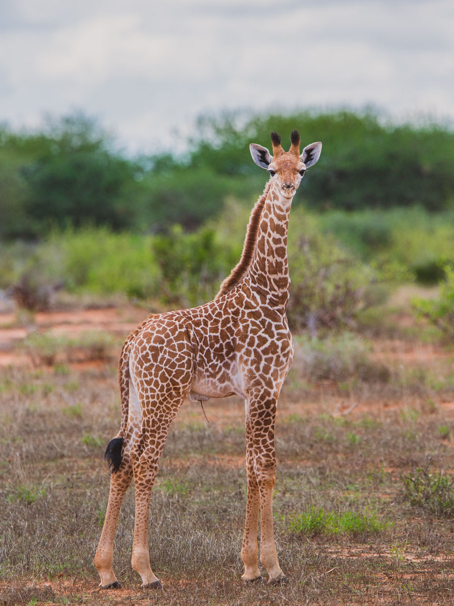 baby masai giraffe calf, kenya