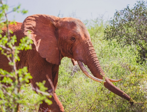 Aerial wildlife videographer – Alone elephant in East Tsavo, Kenya