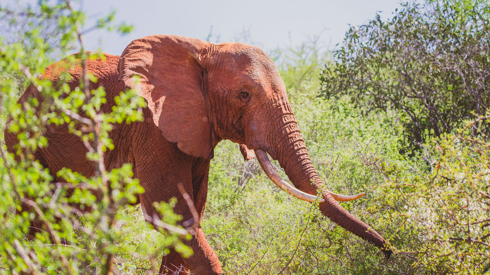 aerial wildlife videographer, elephant, tsavo, kenya, tanzania, africa - flygfoto, flygvideo