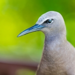 brown-noddy-bird-island-seychelles-wanderlust-nature-photograper