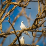 white-tern-bird-island-seychelles-wanderlust-wildlife-photograper