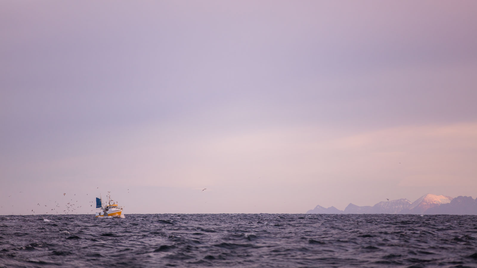 Fishing skrei cod in Lofoten, Norway