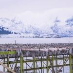 Torkad fisk / Torkad skrei torsk i Lofoten, Norge