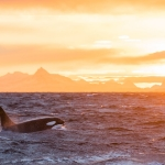 Killer whale orca safari in Lofoten and Andenes, Norway