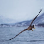 Sea eagle bird safari in Lofoten, Norway
