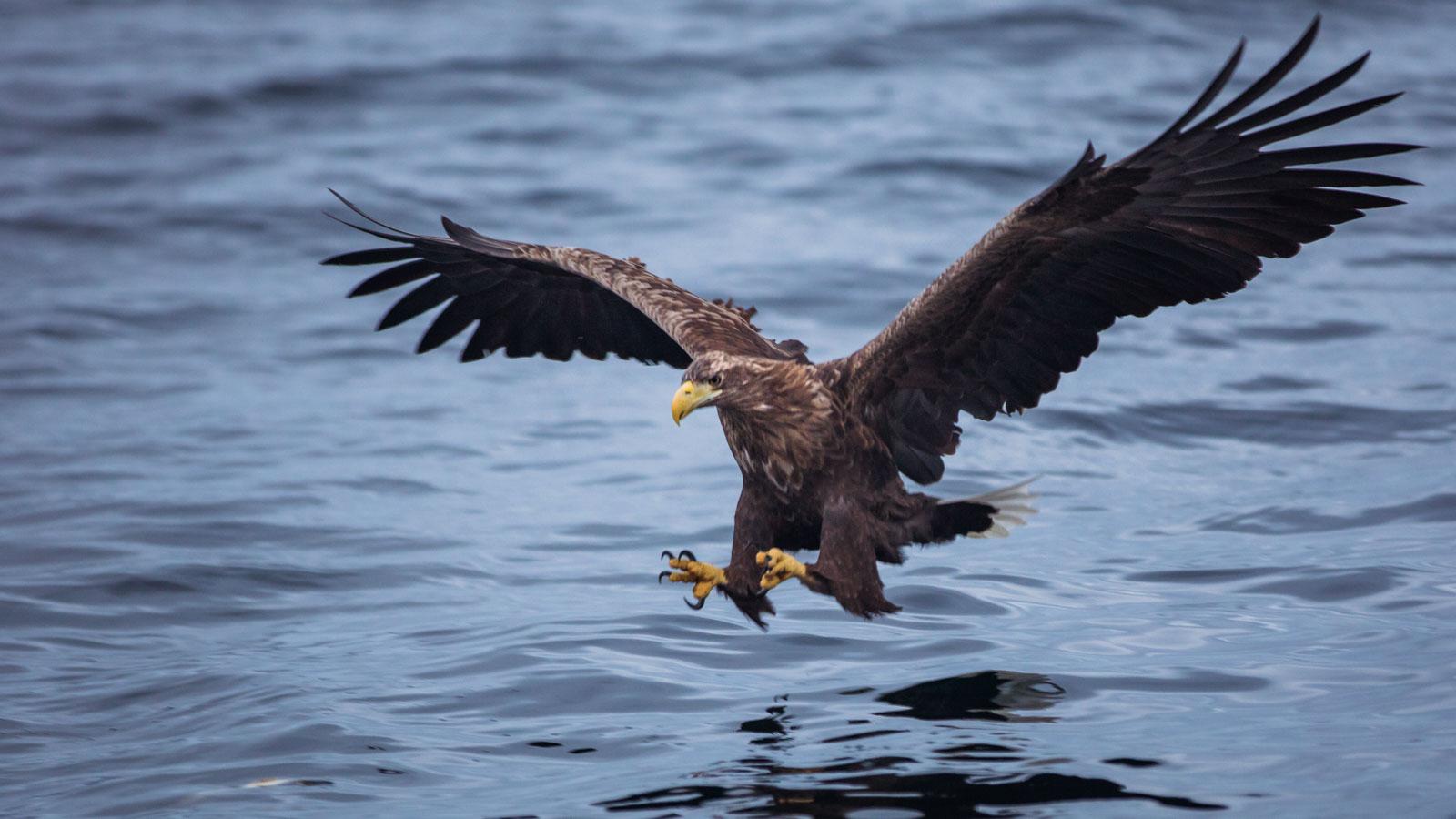 Sea eagle bird safari in Lofoten, Norway