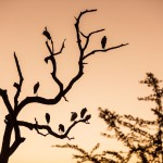 Storks in tree - Sunrise Safari from Saraii Village, Yala, Sri Lanka