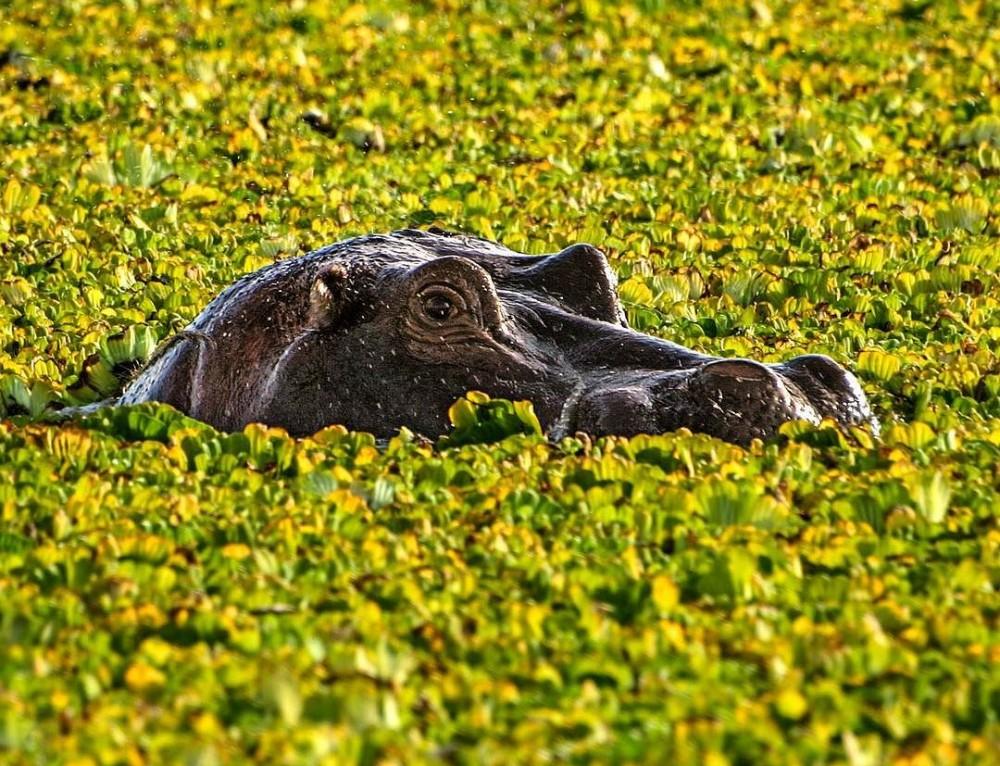 Babby hippo – Tanzania
