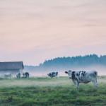 anhede-sweden-cows-mist-photo-art-web