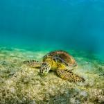 eating-sea-turtle-underwater-photographer-jesper-anhede-caribbean-ocean
