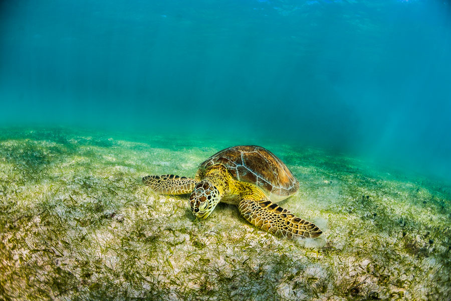 eating-sea-turtle-underwater-photographer-jesper-anhede-caribbean-ocean