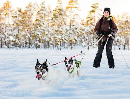 Who would like to try this winter adventure? Skiing with the dogs at Blängsmossen on Billingen mountain near Skövde in Sweden. #dog #skiing #winter #sweden #visitsweden