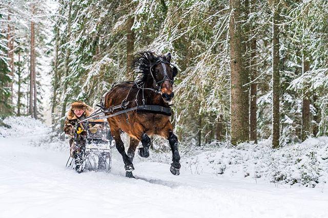 One horsepowertop speed. #horse #sledge #winter #sweden #visitsweden