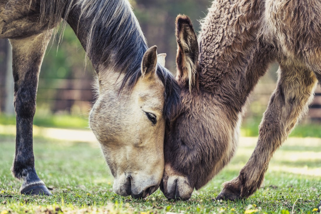 lea-best friends-blind-horse-snickers-donkey