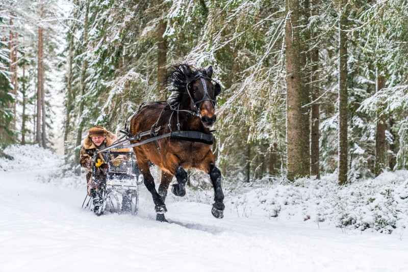 sweden-nature-outdoor-winter-sledge-horse