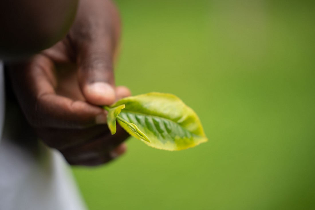 tea leaves kericho kenya africa giz ukaid development agency photographer videographer