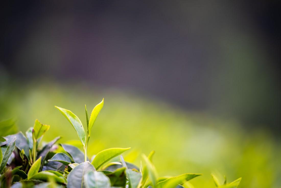tea leaves plantation kericho kenya africa sunset giz ukaid videographer