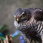 eurasian-sparrowhawk-northern-goshawk-prey-duvhok-byte-sparvhok