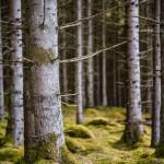 illustrationsbild-skog-avverkning-industrifotograf-tallskog-massaindustri-pappersindustri-skogsindustri-sverige