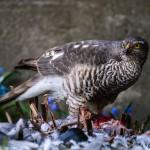 northern-goshawk-prey-eurasian-sparrowhawk-duvhok-byte-sparvhok