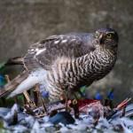 northern-goshawk-prey-eurasian-sparrowhawk-duvhok-sparvhok