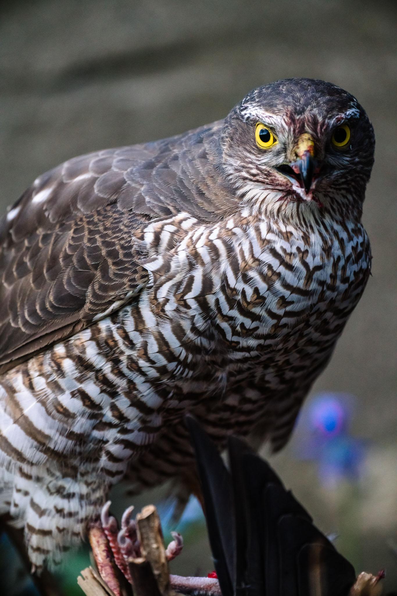 northern-goshawk-prey-eurasian sparrowhawk-duvhok-sparvhok-byte