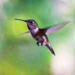 colibri-canada-bird-photographer-jesper-anhede-sony-rx10